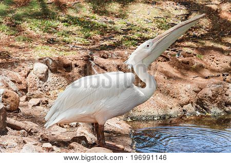 The great white pelican (Pelecanus onocrotalus) also known as the eastern white pelican rosy pelican or white pelican
