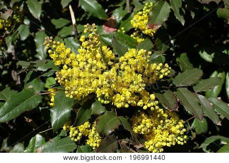 Bright Yellow Flowers And Wide Pinnate Leaves Of Grape Holly