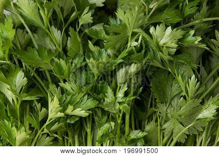 Parsley leaves closeup. Freshly picked greens of young parsley.