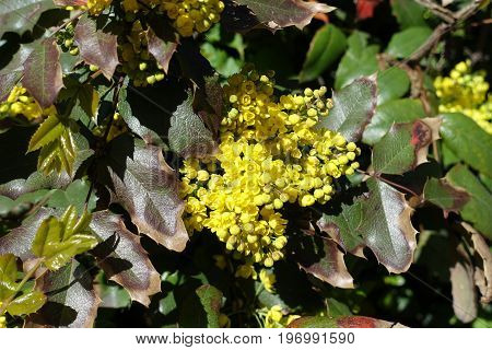 Cluster Of Yellow Flowers Of Oregon Grape