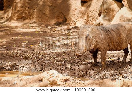 Common warthog (Phacochoerus africanus) with copy space