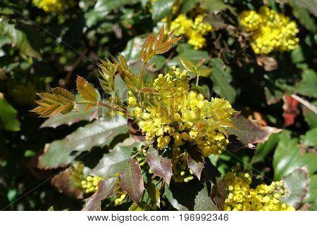 Fresh Leaves And Blossom Of Mahonia Aquifolium