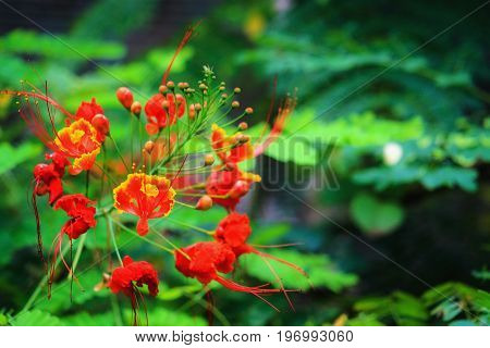 Close up of dwarf poinciana - Caesalpinia pulcherrima
