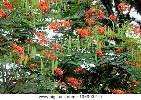 Dwarf poinciana tree - Caesalpinia pulcherrima - showing foliage, seed pods and flowers.