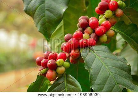 Fresh coffee beans on branch of coffee plant - Arabica coffee