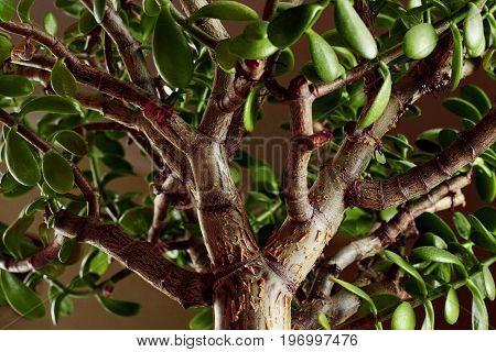 The Succulent Plant Crassula Ovata Jade Plant,money Plant Close Up.