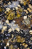 Mussels and barnacles at low tide on sea floor in Pacific coast of Canada poster