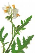 Solanum sisymbriifolium (common names: vila-vila sticky nightshade red buffalo-bur fire-and-ice plant litchi tomato) plant with blossoms isolated against white background poster