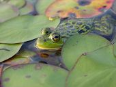 frog in lilypads poster