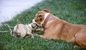 american staffordshire terrier bitch and puppy playingpet theme poster