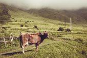 Sad dairy cow look at camera. Farm animal. Rural landscape. Farming concept. Clouds descending over georgian meadow. Copy space. Georgia. Ecotourism. Mountain valley. Graze cattle. Lush pasture poster