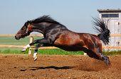 dapple-chestnut stallion poster