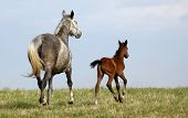 Dapple-grey mare and colt poster