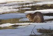Beaver at Work in early spring Manitoba poster