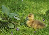 Canada goose gosling sitting in the grass. poster