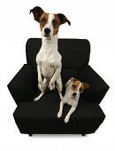 Two Jack Russell Terriers sitting on a black chair isolated on a white background. poster