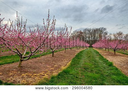A Spring View Of An Apple Orchard With Blossoms In Freehold New Jersey.