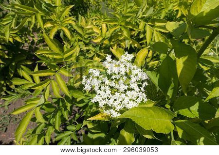 Florescence Of European Elderberry Bush In Late Spring