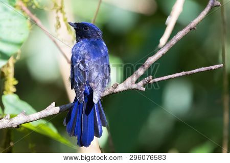 Back of Large Niltava bird with blue black feathers perching on branch at Fraser's hill, Malaysia (Niltava grandis)