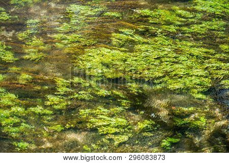 Green Juicy Waterplants Are Waved Underwater At A Small Rapid Stream