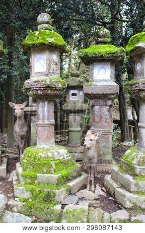 Cute deer and old stone japanese lanterns at Kasuga Grand Shrine (Kasuga-Taisha Shrine), Nara Japan. UNESCO world heritage site