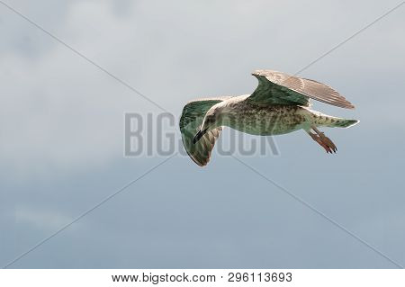 Flying seagull with spread wings on cloudy background. Birds, ornithology, freedom and vacation concepts poster