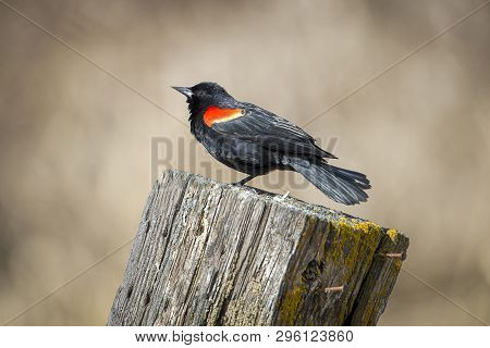 Adult Red Winged Blackbird On A Post. A Red Winged Blackbird Is Perched On A Post In Hauser, Idaho.