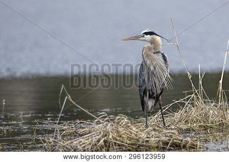 Heron Stands In The Grass. A Portraiture Type Photo Of A Great Blue Heron By Hauser Lake In North Id
