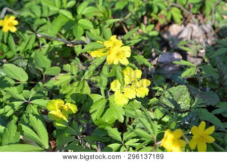 Anemone Ranunculoides And Chrysosplenium, Medical Health Care Concept, Protection Of Organic Plants.