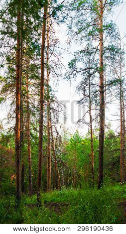 Forest landscape with trees growing at the mountain slopes under sunset light. Summer forest nature. Dense forest scene, green forest trees in sunny weather. Forest spring nature