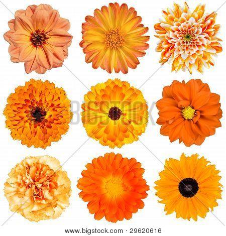 Selection Of Orange Flowers Isolated On White