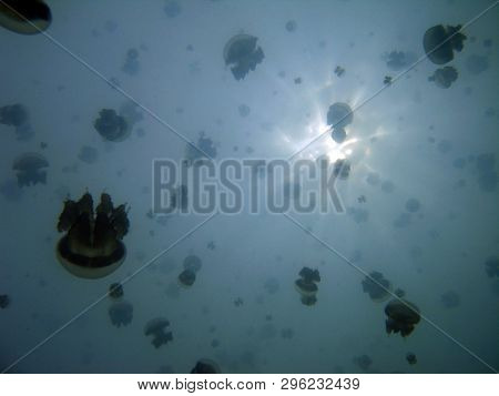 Plenty Of Jellyfish, Viewed Against The Surface. Jellyfish Lake, Kakaban, Indonesia