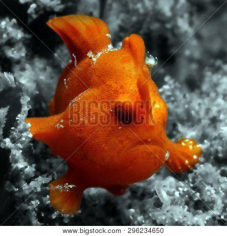 Juvenile Painted Frogfish (antennarius Pictus), Lembeh Strait, Indonesia