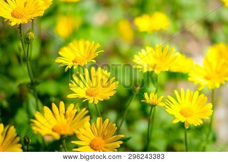 Easter Flowers In Meadow, Yellow Daisy Flower Field During Spring