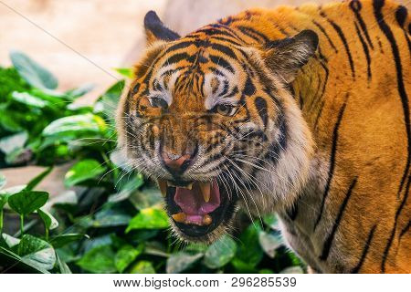 Young Siberian Tiger In Action Of Growl