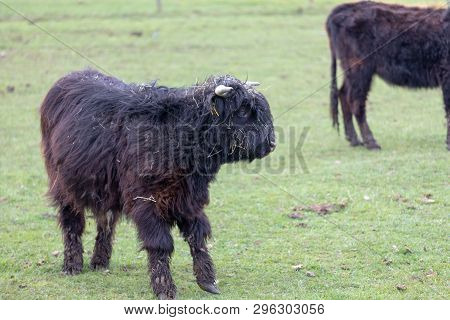 Uvenile Black Highland Cow Standing In The Pasture, Portrait Of A Young Bovine.