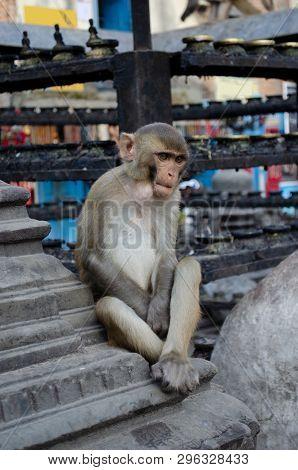 Monkey Deep In Thought At Monkey Temple In Kathmandu, Nepal.  Swayambhunath Stupa.  Contemplative, P