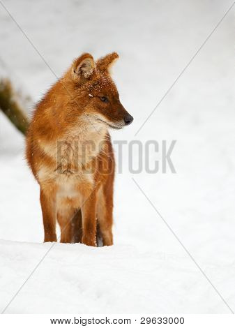 Asian Wild Dog In The Snow