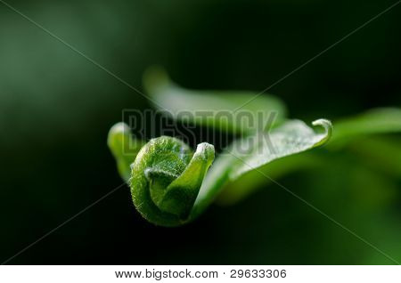 Close Up Of A Curled Green Leaf.
