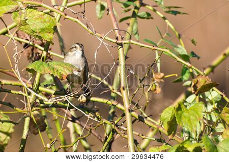 A White Crowned Sparrow Among the Thorns poster
