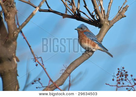 An Eastern Bluebird Perched in a Tree in Winter poster