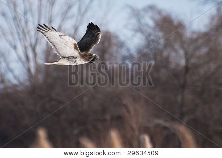 poster of A Hunting Red-Tailed Hawk Carrying It's Prey