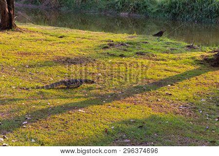 Varanus salvator on the ground in the park poster