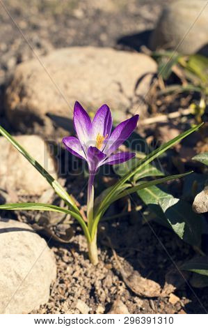 Lilac Early Crocus Flower Or Tommasini Crocus Grows Through The Stones. Crocus Tommasinianus. Sunny