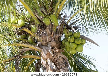 Coconuts and Palm tree