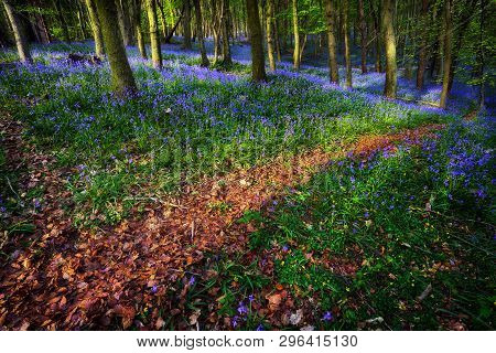 A Trail Through British Bluebells In Ten Acre Wood Near Margam County Park, In Port Talbot, South Wa