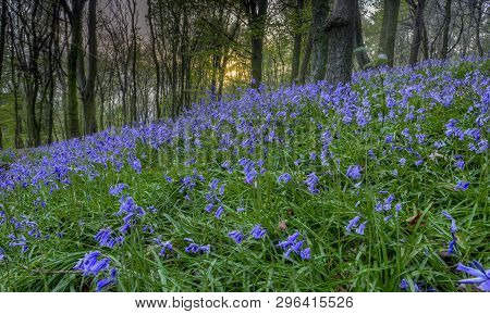 Sunset On The Bluebells In Ten Acre Wood Near Margam County Park, In Port Talbot, South Wales, Uk