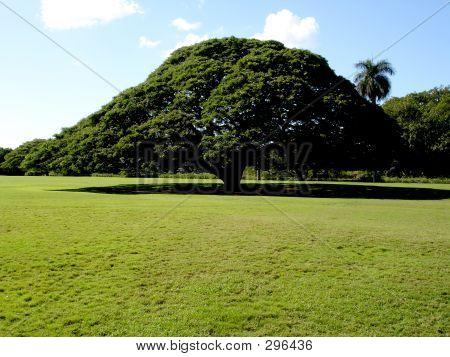 Hawaiian Savannah Tree