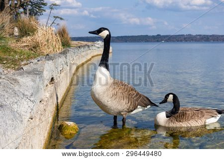 An image of canadian geese at Tutzing Starnberg lake Germany