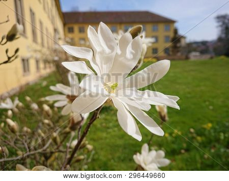 An image of a magnolia tree with blossoms
